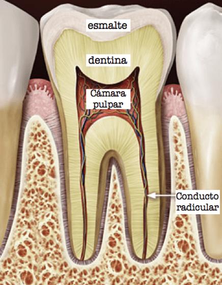 fisionomia diente tratamiendo de conducto